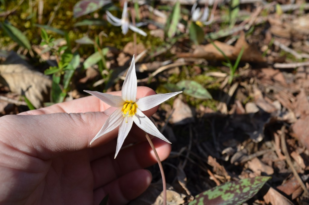 Southern Appalachian Trout Lily Flower