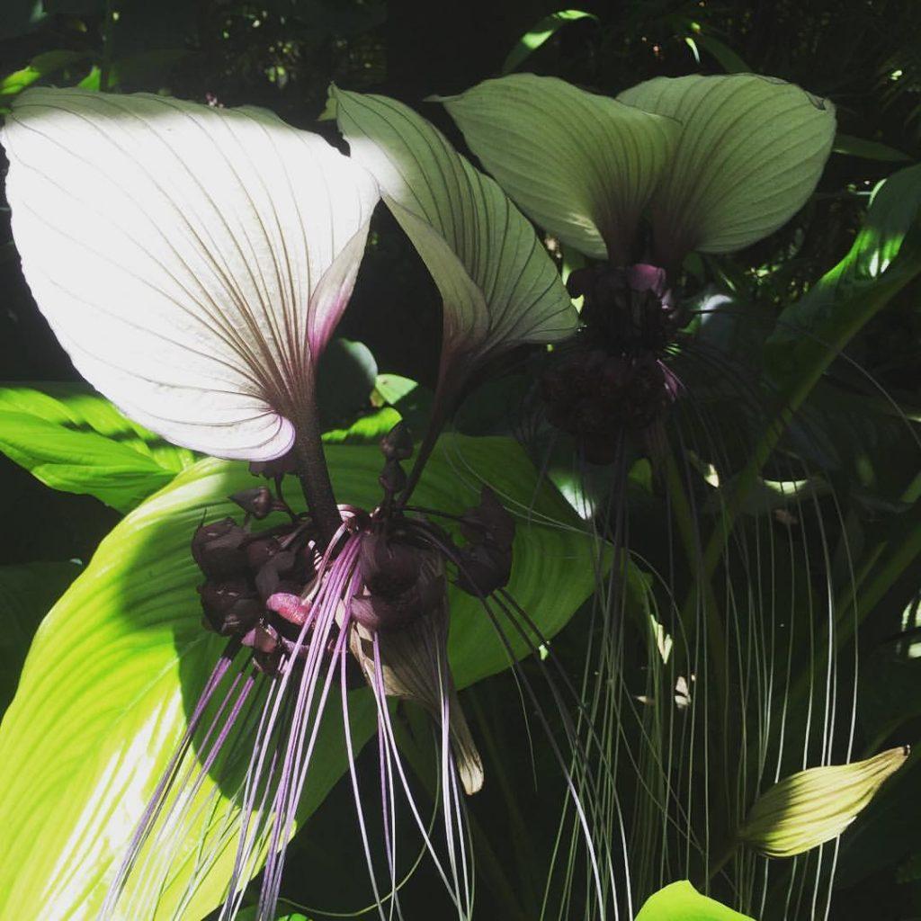 Tacca integrifolia white bat flower the botanical life tacca integrifolia white bat flower mightylinksfo